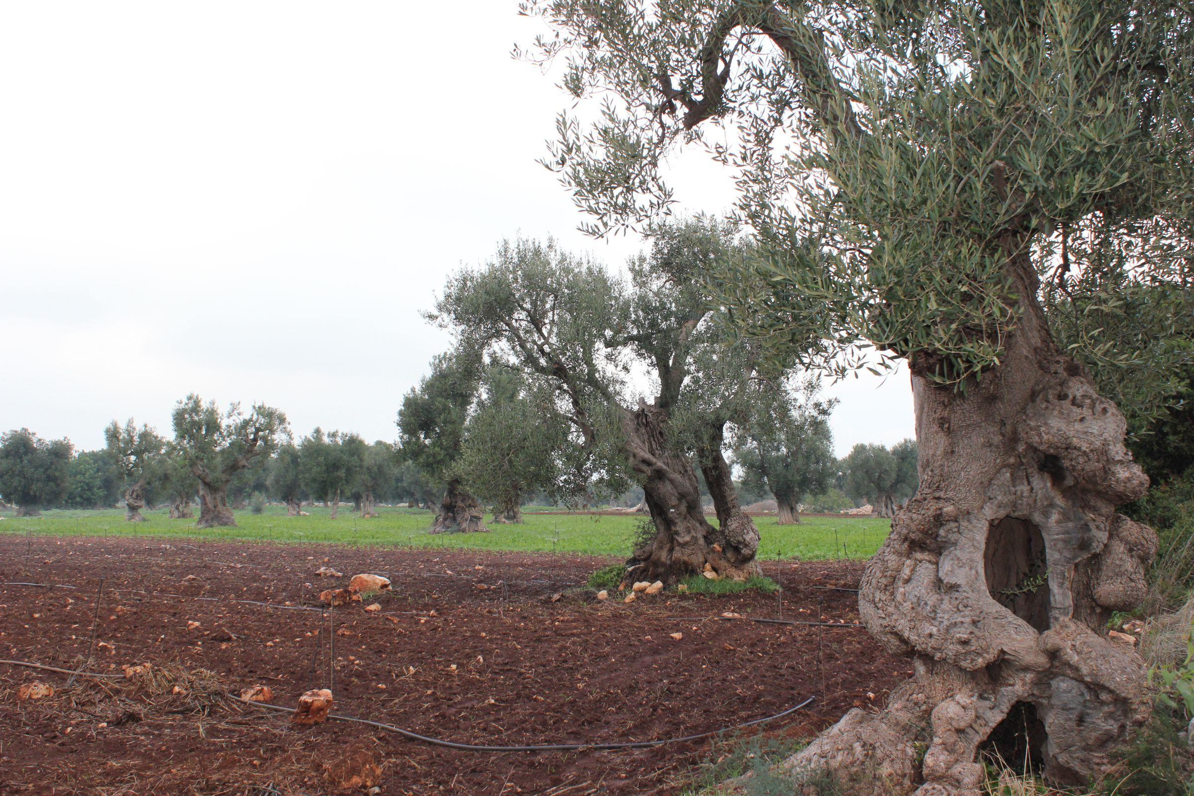 oliveto secolare - for sale - secular olive grove - puglia